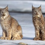 lynx-picture
